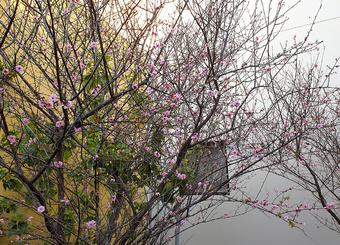 Sakura 2020 | Rizal Farok