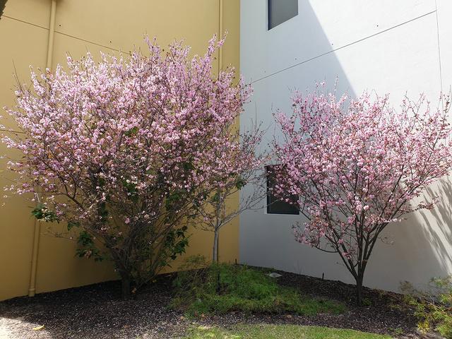 peak Sakura bloom | Rizal Farok